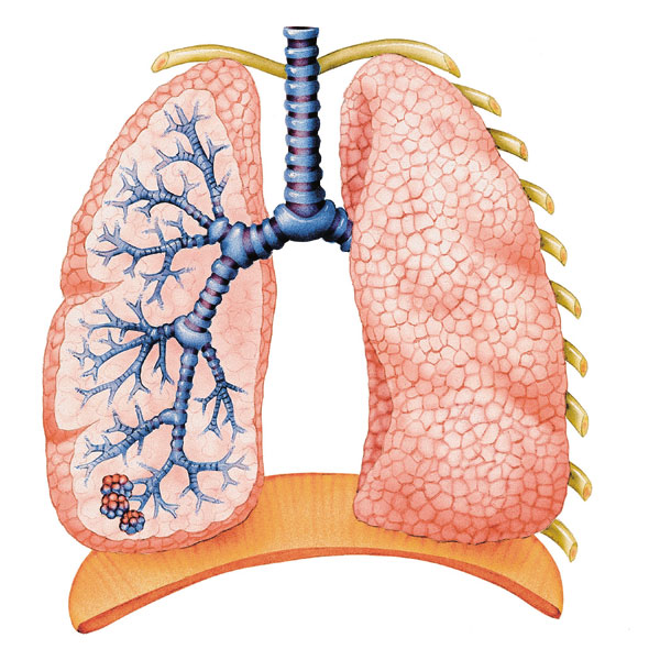 defence mechanisms lungs relation pulmonary anatomy